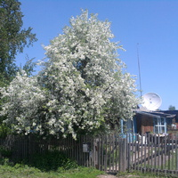 Усть Ургал, май 2011 г., яблоня цветёт.