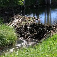 Игумново)) Бобровая плотина