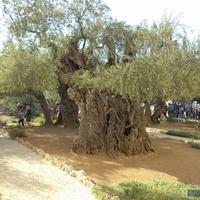 Єрусалим.Древнє оливкове дерево.