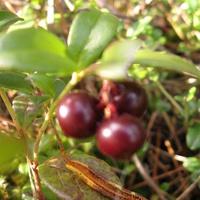Брусника. Растительный мир Западной Сибири