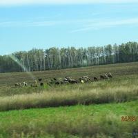 Овцы у дороги