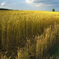 Хлібне поле