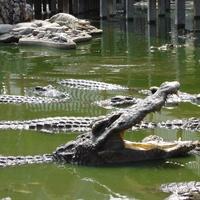 Самутпракан. На крокодиловой ферме.
