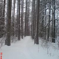 Зимний парк, лиственницы
