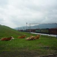 Среднеилимская. Коровы у станции пасутся…