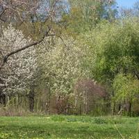 Весны цветенье!