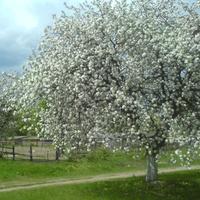 яблоня, май 2008