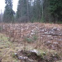 В лесу у Межно. Проделки кабанов 2