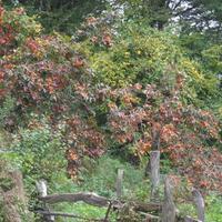 деревья хурмы в садах