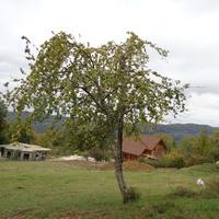 яблоня дичка