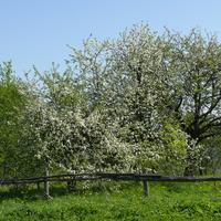 д. Комарово, заброшенный сад