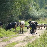 Домашний скот д.Пищулино