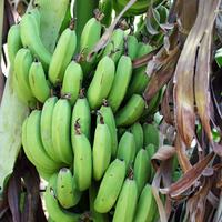 Al Maris, банановые плантации