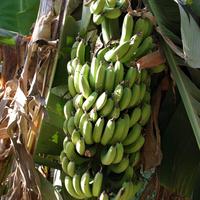 Al Maris, банановые плантации, гроздь бананов