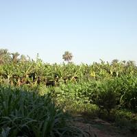 Al Maris, на банановой ферме