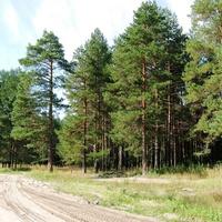 Красивый лес здесь растёт