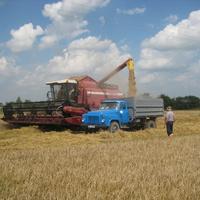 Зерно нового урожая