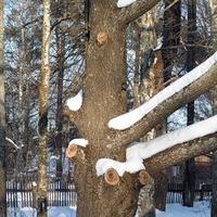 Пышкетский дуб, посаженный декабристами.