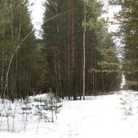 """зимний лес посёлка гдето за озером """"Солёное"""""""