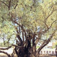 Маслина, которой уже более 2000 лет