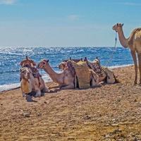 Море, верблюды