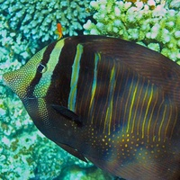 Конопатая морда.  Одна из разновидностей рыбы-хирурга - Парусоплавничная зебросома, с острыми костяными выростами с боков около хвостового плавника.