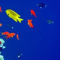 Антиасы лирохвостые (голубоглазые) возле кораллового рифа