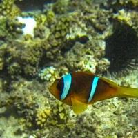 Рыба - Клоун