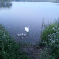 Лебеди на Сажелке