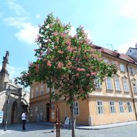 Цветут каштаны на улицах Праги