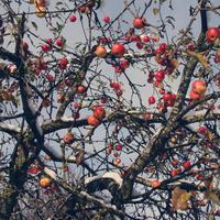 Першы снег. Чырвоныя яблыкi. 2013год.