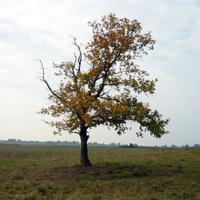 Урочище Дубаки одинокий дуб