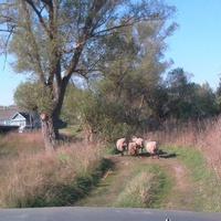 Оматы овцы