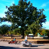Старезний дуб в парку iменi Ленiна.