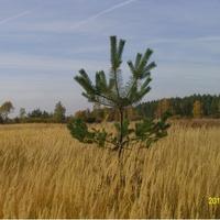 Сосёнка в поле у Кулаковки