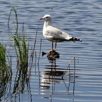 Чайка на торфяном озере