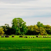 Деревья и коровы