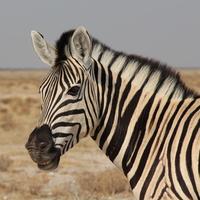 Улыбающаяся зебра