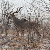 Самец антилопы Куду