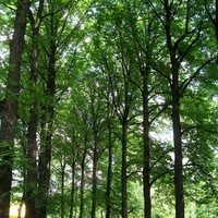 Сокольники. Аллея старых деревьев.