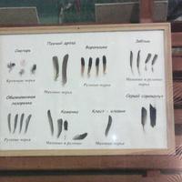 В зале музея «Мир птиц национального парка Мещёра». Перья снегиря, певчего дрозда, варакуши, зяблика, обыкновенной лазаревки, каменки, клеста-еловика, серого сорокапута