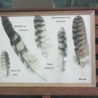 В зале музея «Мир птиц национального парка Мещёра». Перья ушастой совы, бородатой неясыти, длиннохвостой неясыти, серой неясыти и филина