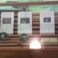В зале птиц смешанных и хвойных лесов музея «Мир птиц национального парка Мещёра. Яйца вяхиря, коноплянки, зяблика, козодоя обыкновенного и славки-черноголовки