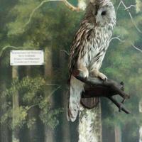 В зале птиц смешанных и хвойных лесов музея «Мир птиц национального парка Мещёра. Длиннохвостая неясыть