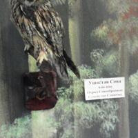 В зале птиц смешанных и хвойных лесов музея «Мир птиц национального парка Мещёра. Ушастая сова