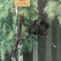 В зале птиц смешанных и хвойных лесов музея «Мир птиц национального парка Мещёра. Клинтух