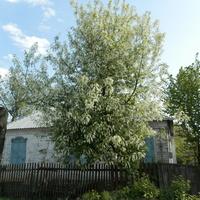2 мая 2016.Буйство черёмухи  на ул. Воровского.