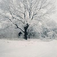Зимний дуб в саду Ивашковых.