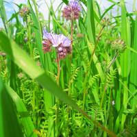Фацелия - медоносное растение