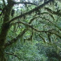 В царстве Лешего, или Бородатое дерево.  Ущелье Чудо-Красотка близ Солоник.  24 августа 2010 года.